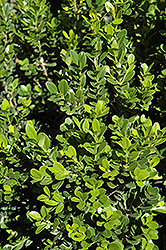Baby Gem™ Boxwood (Buxus microphylla 'Gregem') at Plumline Nursery