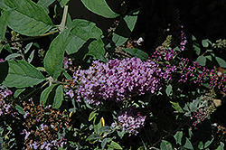 Lo And Behold® Lilac Chip Dwarf Butterfly Bush (Buddleia 'Lo And Behold Lilac Chip') at Plumline Nursery