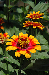 Zowie Yellow Flame Zinnia (Zinnia 'Zowie Yellow Flame') at Plumline Nursery