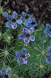 Curiosity Spanish Love-In-A-Mist (Nigella hispanica 'Curiosity') at Plumline Nursery