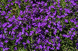 Magadi Basket Dark Blue Lobelia (Lobelia erinus 'Magadi Basket Dark Blue') at Plumline Nursery