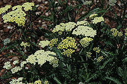 Moon Dust Yarrow (Achillea 'Novaachdus') at Plumline Nursery