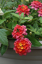 Landmark Sunrise Rose Lantana (Lantana camara 'Landmark Sunrise Rose') at Plumline Nursery