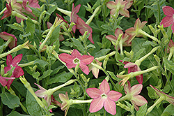 Starmaker Lime Purple Bicolor Flowering Tobacco (Nicotiana 'Starmaker Lime Purple Bicolor') at Plumline Nursery
