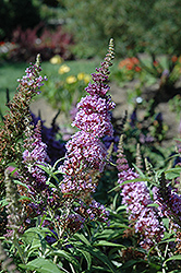 Buzz™ Violet Butterfly Bush (Buddleia davidii 'Tobudviole') at Plumline Nursery