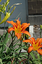 Orange Daylily (Hemerocallis fulva) at Plumline Nursery