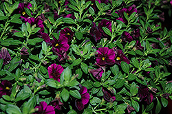 Aloha Kona Midnight Purple Calibrachoa (Calibrachoa 'Aloha Kona Midnight Purple') at Plumline Nursery