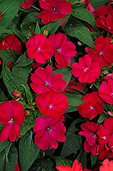 SunPatiens® Compact Royal Magenta New Guinea Impatiens (Impatiens 'SunPatiens Compact Royal Magenta') at Plumline Nursery
