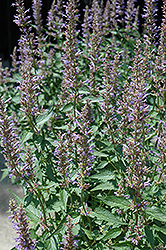 Purple Haze Hyssop (Agastache 'Purple Haze') at Plumline Nursery