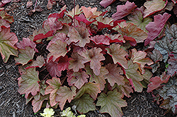 Carnival Watermelon Coral Bells (Heuchera 'Watermelon') at Plumline Nursery