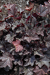 Carnival Plum Crazy Coral Bells (Heuchera 'Plum Crazy') at Plumline Nursery