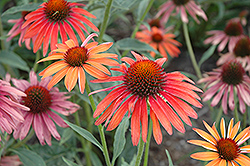 Hot Summer Coneflower (Echinacea 'Hot Summer') at Plumline Nursery