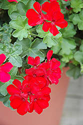 Caliente Deep Red Geranium (Pelargonium 'Caliente Deep Red') at Plumline Nursery