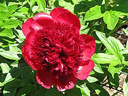 Dandy Dan Peony (Paeonia 'Dandy Dan') at Plumline Nursery