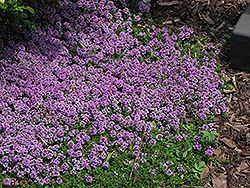 Purple Carpet Creeping Thyme (Thymus praecox 'Purple Carpet') at Plumline Nursery