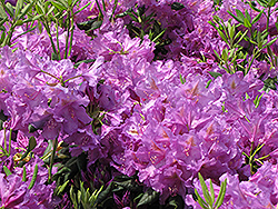 Lee's Dark Purple Rhododendron (Rhododendron catawbiense 'Lee's Dark Purple') at Plumline Nursery