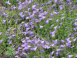 Birch Hybrid Bellflower (Campanula 'Birch Hybrid') at Plumline Nursery