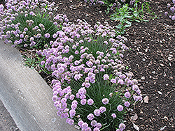 Juniper-Leaved Sea Thrift (Armeria juniperifolia) at Plumline Nursery