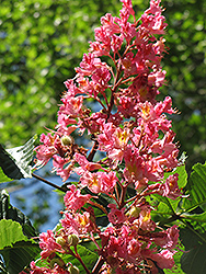 Red Horse Chestnut (Aesculus x carnea) at Plumline Nursery