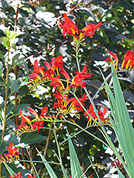 Lucifer Crocosmia (Crocosmia 'Lucifer') at Plumline Nursery