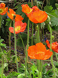 Iceland Poppy (Papaver nudicaule) at Plumline Nursery