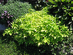 Sweet Caroline Light Green Sweet Potato Vine (Ipomoea batatas 'Sweet Caroline Light Green') at Plumline Nursery