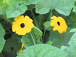 Black-Eyed Susan Vine (Thunbergia alata) at Plumline Nursery