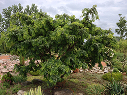 Twisted Baby® Black Locust (Robinia pseudoacacia 'Lace Lady') at Plumline Nursery