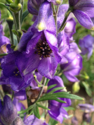 Azure Monkshood (Aconitum fischeri) at Plumline Nursery
