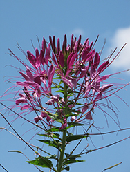 Violet Queen Spiderflower (Cleome hassleriana 'Violet Queen') at Plumline Nursery