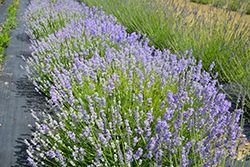 Blue Cushion Lavender (Lavandula angustifolia 'Blue Cushion') at Plumline Nursery