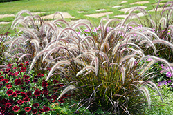 Fountain Grass (Pennisetum setaceum) at Plumline Nursery