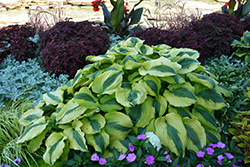 Goodness Gracious Hosta (Hosta 'Goodness Gracious') at Plumline Nursery