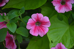 Supertunia® Mini Strawberry Pink Vein Petunia (Petunia 'Supertunia Mini Strawberry Pink Vein') at Plumline Nursery