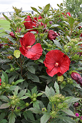 Cranberry Crush Hibiscus (Hibiscus 'Cranberry Crush') at Plumline Nursery
