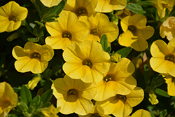 Superbells® Yellow Calibrachoa (Calibrachoa 'Superbells Yellow') at Plumline Nursery