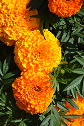 Taishan Orange Marigold (Tagetes erecta 'Taishan Orange') at Plumline Nursery
