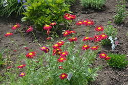 Robinson's Red Painted Daisy (Tanacetum coccineum 'Robinson's Red') at Plumline Nursery