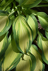 Moon Struck Hosta (Hosta 'Moon Struck') at Plumline Nursery