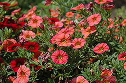 MiniFamous® Compact Orange Calibrachoa (Calibrachoa 'MiniFamous Compact Orange') at Plumline Nursery