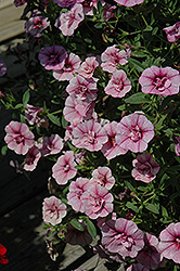 MiniFamous® Double Pink Vein Calibrachoa (Calibrachoa 'MiniFamous Double Pink Vein') at Plumline Nursery