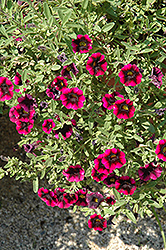 Superbells® Blackberry Punch Calibrachoa (Calibrachoa 'Superbells Blackberry Punch') at Plumline Nursery