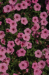 Supertunia® Flamingo Petunia (Petunia 'Supertunia Flamingo') at Plumline Nursery