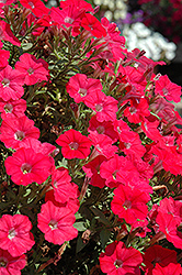 Supertunia® Watermelon Charm Petunia (Petunia 'Supertunia Watermelon Charm') at Plumline Nursery