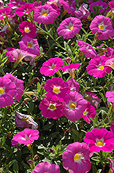 SuperCal® Pink Ice Petchoa (Petchoa 'SuperCal Pink Ice') at Plumline Nursery