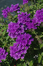 Superbena® Dark Blue Verbena (Verbena 'Superbena Dark Blue') at Plumline Nursery