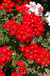 Lanai® Scarlet with Eye Verbena (Verbena 'Lanai Scarlet with Eye') at Plumline Nursery
