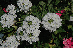 Lanai® Blush White Verbena (Verbena 'Lanai Blush White') at Plumline Nursery