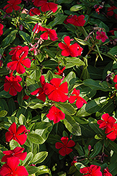 Titan™ Dark Red Vinca (Catharanthus roseus 'Titan Dark Red') at Plumline Nursery