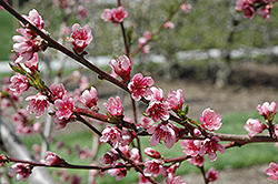 Reliance Peach (Prunus persica 'Reliance') at Plumline Nursery